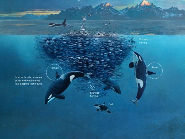 orca-feeding-04new