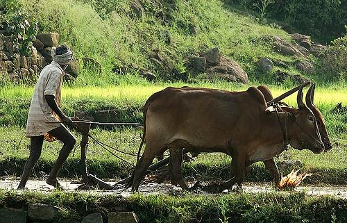 farming with oxen