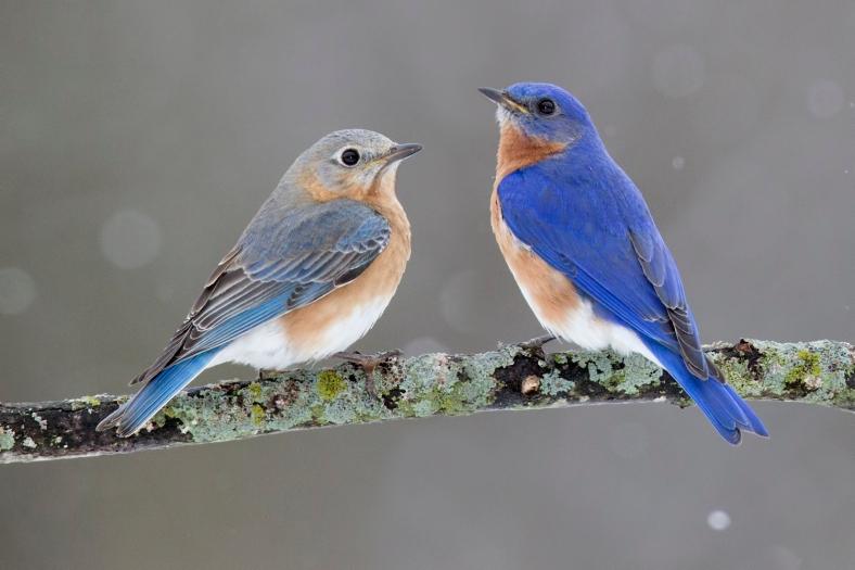 EasternBluebird-pair