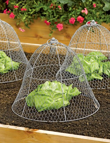 lettuce cloches